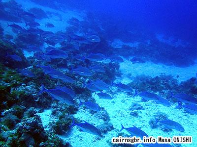 カスミアジ/Bluefin trevally/Caranx melampygus