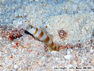 ヤノダテハゼ/Amblyeleotris yanoi/Flag-tail shrimpgoby