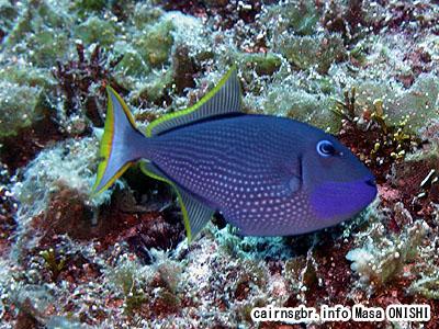 ホシモンガラ/xanthichthys auromarginatus/Gilded Triggerfish