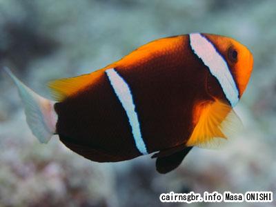 オレンジフィンアネモネフィッシュ/Amphiprion chrysopterus/Orangefin anemonefish