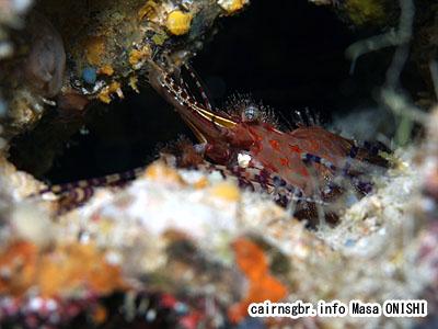 オリビアシュリンプ/Saron Sp/Olivia shrimp