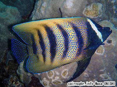 ロクセンヤッコ/Pomacanthus sexstriatus/Six-banded angelfish