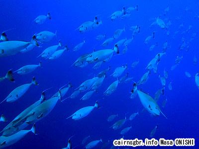 ヒメテングハギ/Naso annulatus/white margin unicornfish