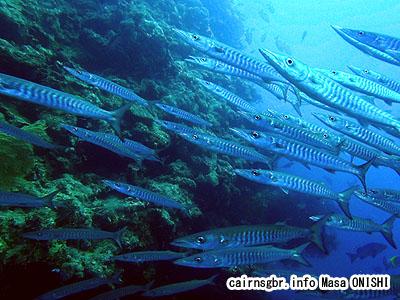 オオカマス、ブラックフィンバラクーダ/Sphyraena qenie/Blackfin barracuda