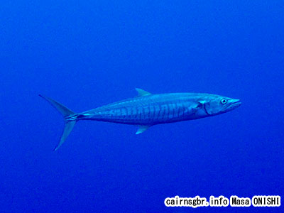 ヨコシマサワラ/Scomberomorus commerson/Narrow-barred king mackerel
