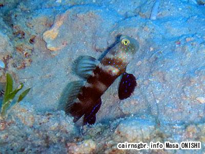 ムラサメハゼ/Cryptocentrus fasciatus/Barred prawn-goby