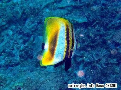 タキゲンロクダイ/Coradion altivelis/Tawnygirdled butterflyfish、Highfin Coral Fish