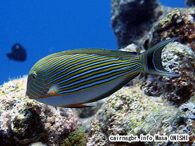 ニジハギ/Acanthurus lineatus/Striped Surgeonfish、Bluebanded surgeonfish