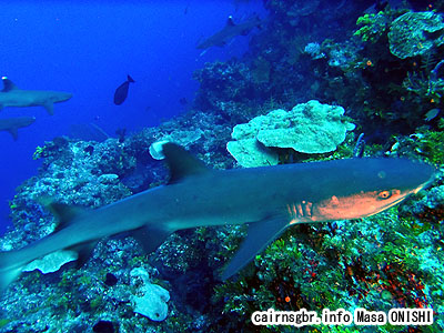 ネムリブカ/Triaenodon obesus/Whitetip reef shark