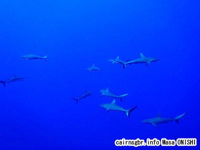 オグロメジロザメ/Gray reef shark/Carcharhinus amblyrhynchos