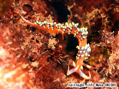 ヒブサミノウミウシ/Caloria indica