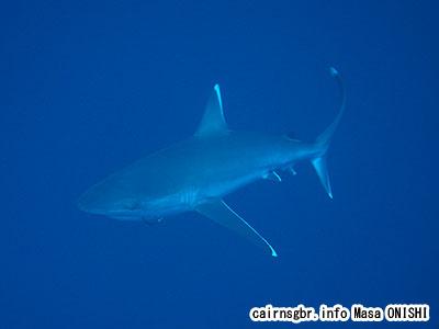 ツマジロ/Carcharhinus albimarginatus/Silvertip shark