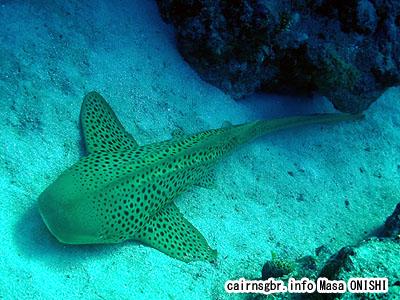 トラフザメ/Stegostoma varium/Leopard shark、Zebra shark