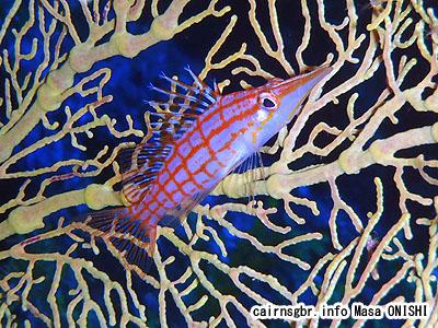 グダゴンベ/Oxycirrhites typus/Longnose hawkfish