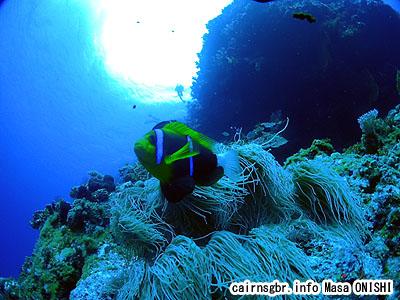 オレンジフィン・アネモネ フィッシュ/Amphiprion chrysopterus Cuvier/Orangefin anemonefish