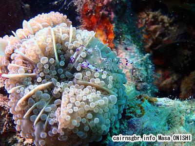 ニセアカホシカクレエビ/Periclimenes venustus/Venustus Cleaner Shrimp 0