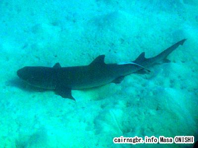 ネムリブカ/Whitetip reef shark/Triaenodon obesus