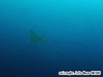 マダラトビエイ/Aetobatus narinari/Spotted eagle ray