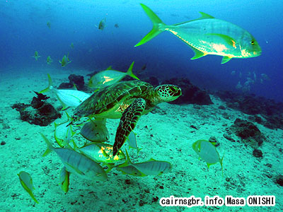 アオウミガメ と コガネシマアジ