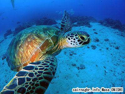 アオウミガメ/Chelonia mydas/Green turtle