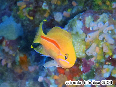 スジハナダイ/Pseudanthias fasciatus/One-stripe anthias