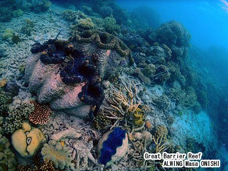オオシャコガイ / Tridacna gigas / Giant clam
