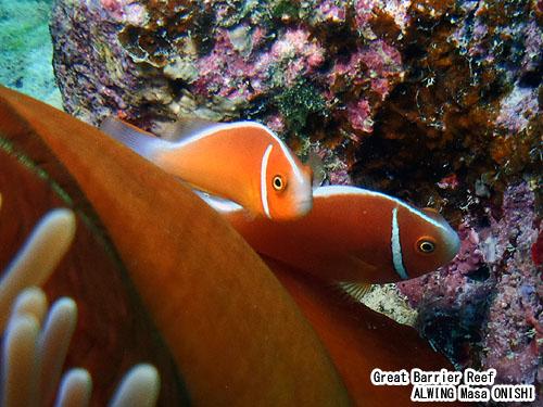 ハナビラクマノミ / Amphiprion perideraion Bleeker / Pink anemonefish