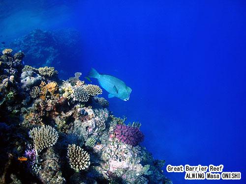 カンムリブダイ / Bolbometopon muricatum / Baffalo fish ,  Humphead parrotfish