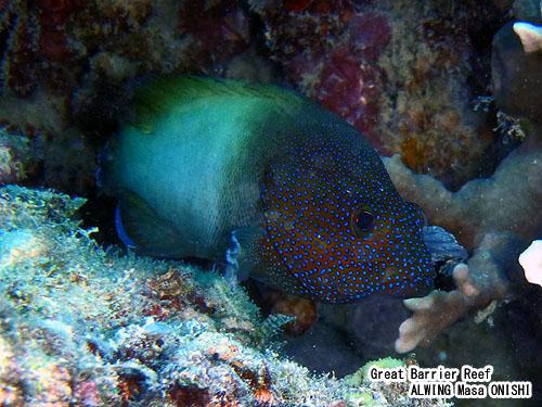 フレックルド グルーパー / Cephalopholis Microprion / Freckled Grouper