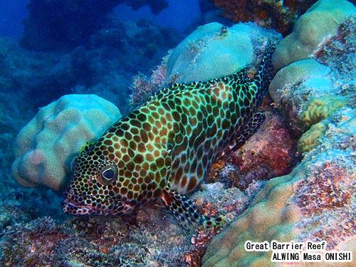 カンモンハタ / Epinephelus merra /Honeycomb rockcod 、 Honeycomb grouper