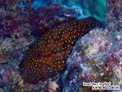 ユカタハタ / Cephalopholis miniata / Vermillion seabass 、 Blue-spot rock-cod 、 Coral grouper