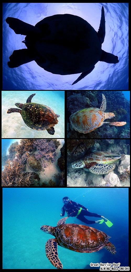 cairns Great Barrier Reef Diving alwing.net turtle