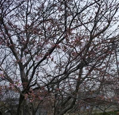 のんちゃん実家の北条の桜は