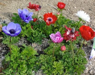 実家の花も色とりどり