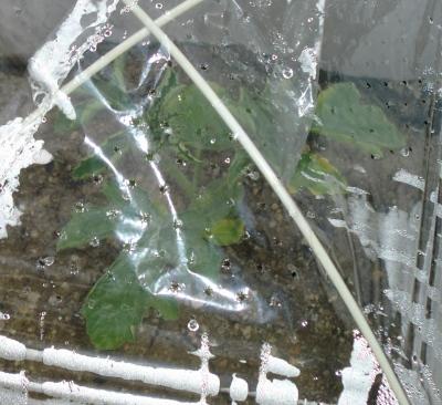 のんちゃん実家の野菜さん達もスクスク生長しています!