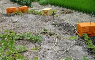 スイカの方は、コンテナに守られて生長していますが、去年と比べて生長は遅いです