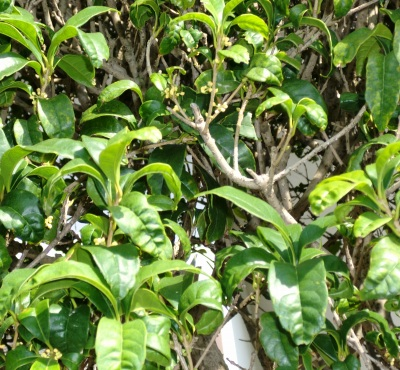 畑地の近くには、金木犀が植えられていてほのかな匂いが漂っていました