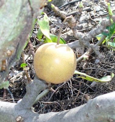 畑地の近くには、ミニトマトや1個しか出来ていないけれど梨も元気になっていました