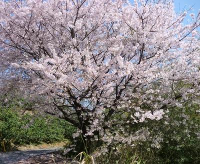 仕事が早めに終わったので嫁さん実家の桜を見に!