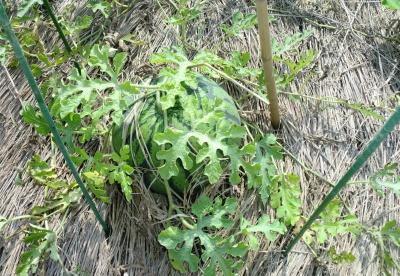 のんちゃん実家のスイカを初収穫しましたが