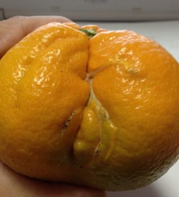 伊予柑のバイトが終わっていろいろな柑橘をいただきました