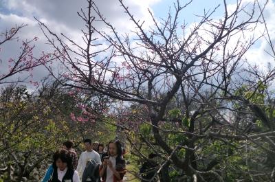 今帰仁城址(なきじんじょう)で今年最初の桜を見て感激