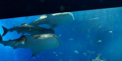 ジンベイザメやウミガメにも感動した美ら海水族館