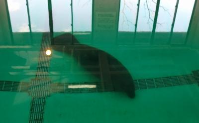 人魚伝説のモデルとなったアメリカマナティーを飼育展示していました