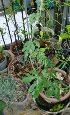 我が家の家庭菜園も賑やかになって来ました