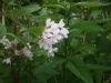 140705多数開花しているタニウツギ