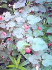 モミジイチゴ・野イチゴ