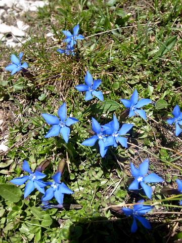 エンチアンの花