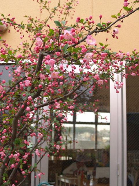 海棠桜満開近し
