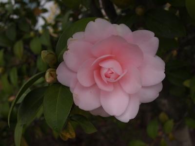 椿 ピンク